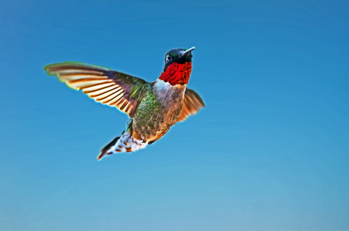 D-35-932 - Male Ruby-throated Hummingbird. Digitally enhanced. Caseville, MI.