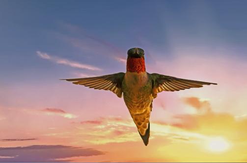 D-35-933 - Male Ruby-throated Hummingbird. Digitally enhanced. Caseville, MI.