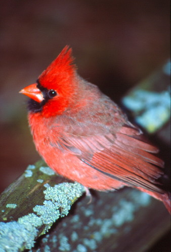 35-2-15 - Male Northern Cardinal. Pigeon, MI.