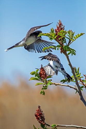 D-35-1171 - Eastern Kingbirds. Sumac Island Public Access. Sebewaing, MI.