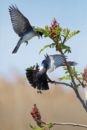 D-35-1172 - Eastern Kingbirds. Sumac Island Public Access. Sebewaing, MI.