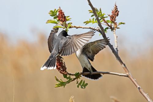 D-35-1179 - Eastern Kingbirds. Sumac Island Public Access. Sebewaing, MI.