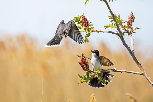 D-35-1182 - Eastern Kingbirds. Sumac Island Public Access. Sebewaing, MI.