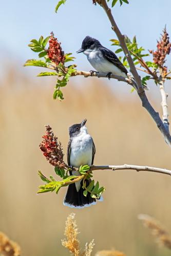 D-35-1187 - Eastern Kingbirds. Sumac Island Public Access. Sebewaing, MI.