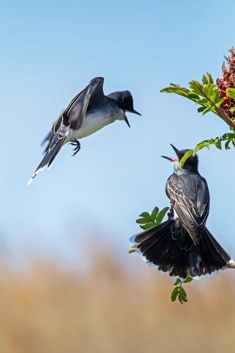 D-35-1192 - Eastern Kingbirds. Sumac Island Public Access. Sebewaing, MI.