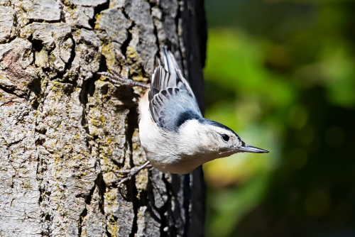 D-35-1289 - White-breasted Nuthatch. Huron County Nature Center. Oak Beach, MI.