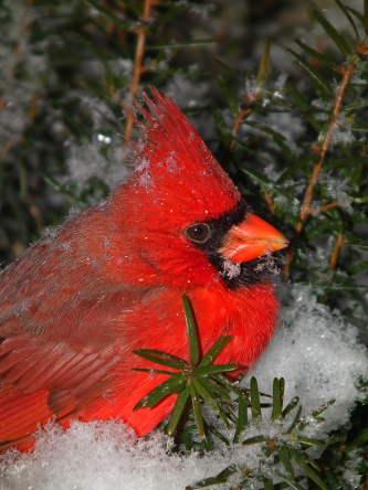 D-35-239 - Male Cardinal. Pigeon, MI.