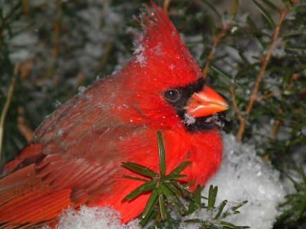 D-35-240 - Male Cardinal. Pigeon, MI.