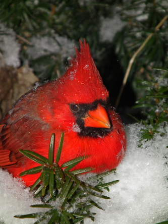 D-35-250 - Male Cardinal. Pigeon, MI.