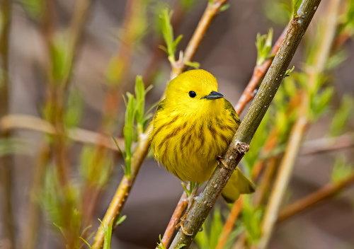 D-35-707 - Yellow Warbler. Sumac Island Public Access. Sebewaing, MI.