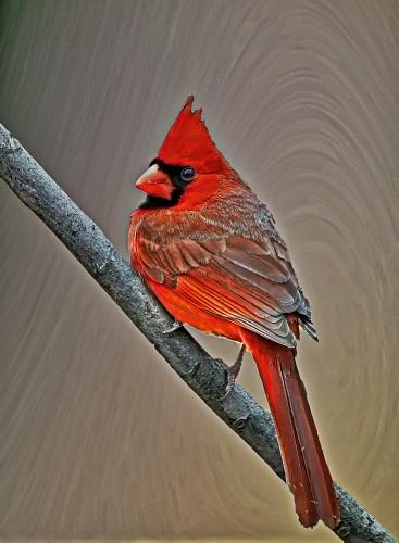 D-35-774 - Male Northern Cardinal. Pigeon, MI. Digitally enhanced.