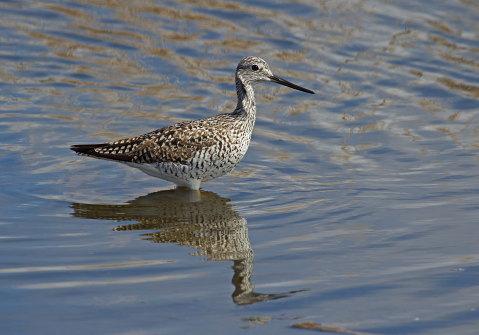 D-49-10 - Greater Yellowlegs. Fish Point Wildlife Area. Unionville, MI.