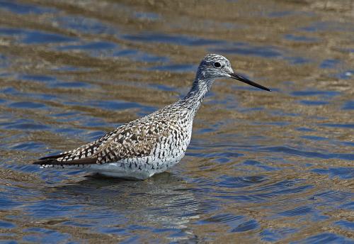 D-49-28 - Greater Yellowlegs. Fish Point Wildlife Area. Unionville, MI.