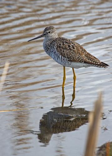 D-49-6 - Greater Yellowlegs. Fish Point Wildlife Area. Unionville, MI.