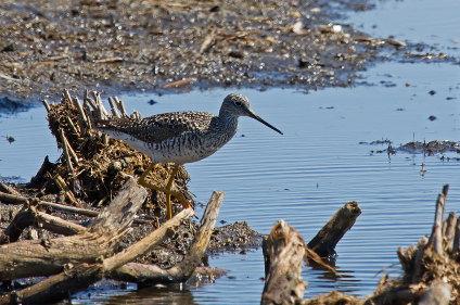 D-49-60 - Greater Yellowlegs. Fish Point Wildlife Area. Unionville, MI.