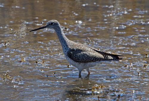 D-49-64 - Greater Yellowlegs. Fish Point Wildlife Area. Unionville, MI.