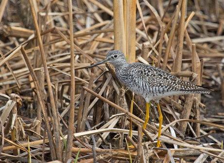 D-49-7 - Greater Yellowlegs. Fish Point Wildlife Area. Unionville, MI.