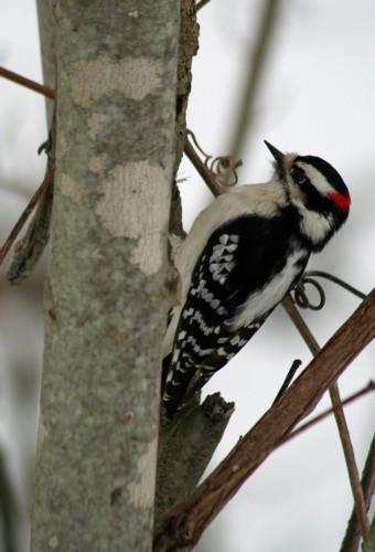 D-44-11 - Downy Woodpecker. Oak Beach, MI.