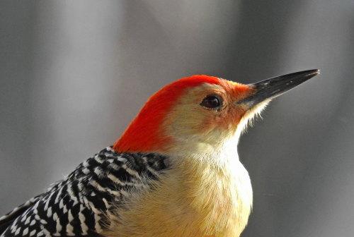D-44-22 - Red-bellied Woodpecker. Caseville, MI.
