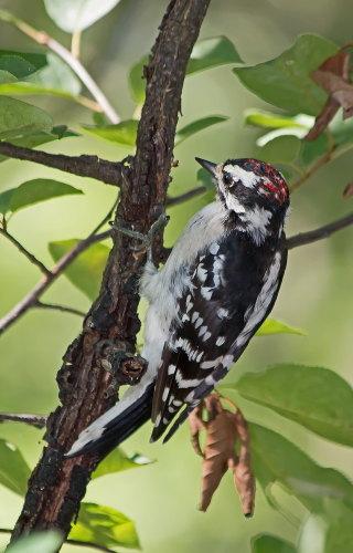 D-44-25 - Downy Woodpecker. Sleeper State Park Day Use Area. Caseville, MI.