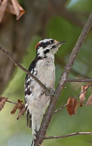 D-44-29 - Downy Woodpecker. Sleeper State Park Day Use Area. Caseville, MI.