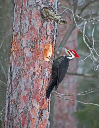 D-44-32 - Pileated Woodpecker. Huron County Nature Center. Oak Beach, MI.