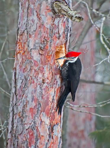 D-44-33 - Pileated Woodpecker. Huron County Nature Center. Oak Beach, MI.