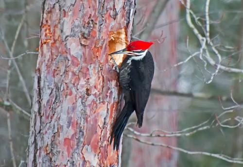 D-44-34 - Pileated Woodpecker. Huron County Nature Center. Oak Beach, MI.