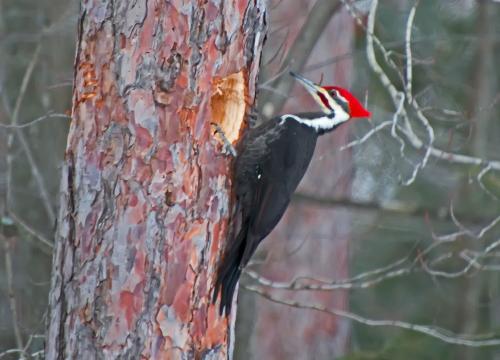 D-44-35 - Pileated Woodpecker. Huron County Nature Center. Oak Beach, MI.