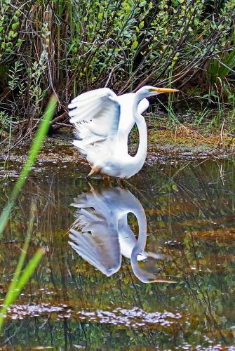 D-39-1215 - Great Egret taking flight. Huron County Nature Center. Oak Beach, MI.
