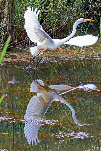 D-39-1216 - Great Egret taking flight. Huron County Nature Center. Oak Beach, MI.