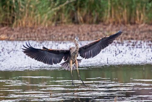 D-39-1284 - Great Blue Heron. Mud Creek Public Access. Bay Port, MI.