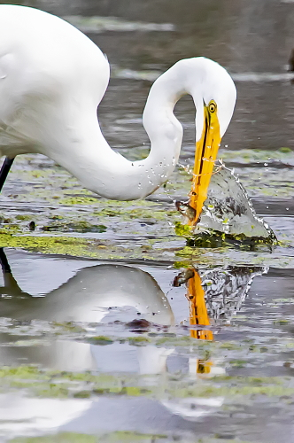 D-39-1290 - Great Egret. Mud Creek Public Access. Bay Port, MI.