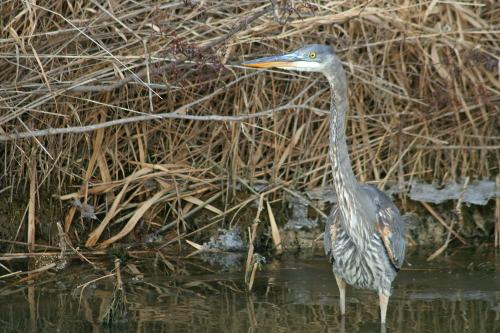 D-39-35 - Great Blue Heron. Mud Creek Public Access. Bay Port, MI.