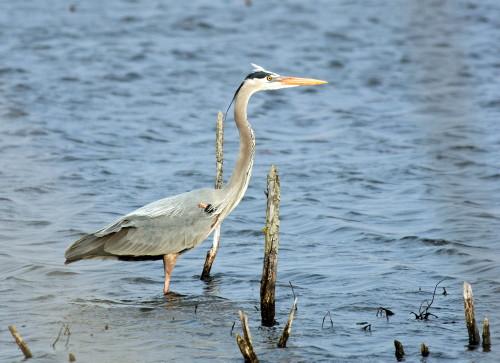D-39-73 - Great Blue Heron. Fish Point Wildlife Area. Unionville, MI.