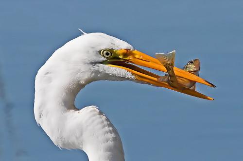 D-39-903 - Great Egret. Rose Island, MI.