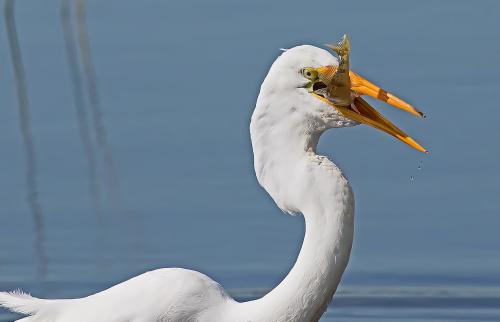 D-39-905 - Great Egret. Rose Island, MI.