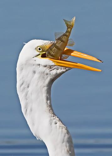 D-39-906 - Great Egret. Rose Island, MI.