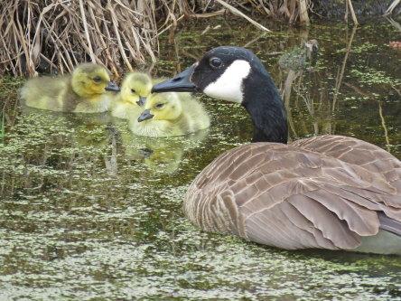 D-50-326 - Canada Goose & Goslings. Fish Point Wildlife Area. Unionville, MI.