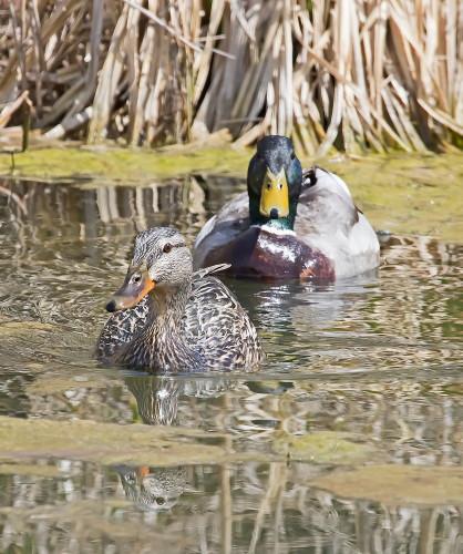 D-50-567 - Male & Female Mallard Ducks. Fish Point Wildlife Area. Unionville, MI.