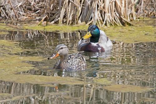 D-50-568 - Male & Female Mallard Ducks. Fish Point Wildlife Area. Unionville, MI.