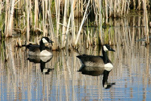D-50-58 - Canada Geese. Fish Point Wildlife Area. Unionville, MI.