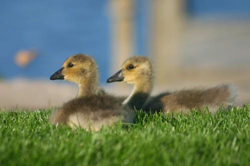 D-50-67 - Canada Goose Goslings. Sand Point, MI.