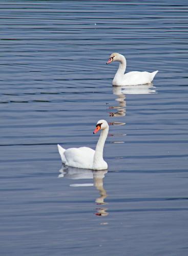 D-52-53 - Mute Swans. Pentwater, MI.