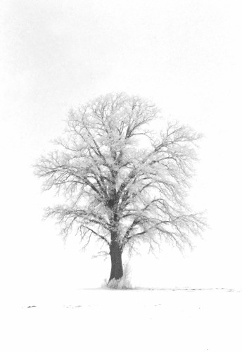 30-1-1 - Lone Tree Covered with Hoar Frost. B&W. Caseville, MI.