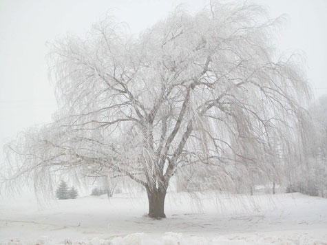 D-30-22 - Willow Tree Covered with Hoar Frost. Bad Axe, MI.