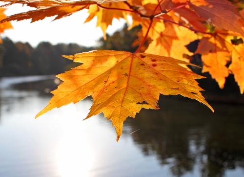 D-15-246 - Maple Leaves along the shore of the Big Sable River. Ludington State Park. Ludington, MI.