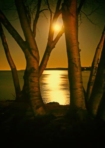 D-17-121 - Birch Trees, with Moonlight Shining off Lake Huron. Grindstone City, MI. Digitally enhanced.