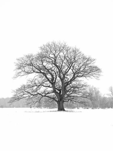 D-27-136 - Lone Tree in a Snow-covered Field. B&W. Bad Axe, MI.