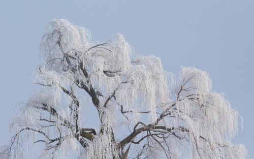 D-27-155 - Willow Tree Branches covered with Hoar Frost. Oak Beach, MI.